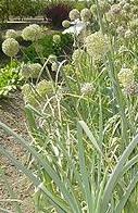Allium%20ablyanthum.jpg