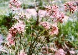Allium%20aciphyllum.jpg