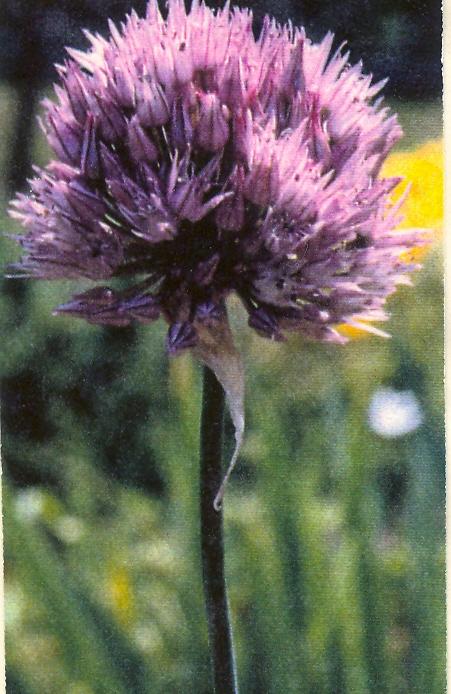 Allium%20acutiflorum.jpg