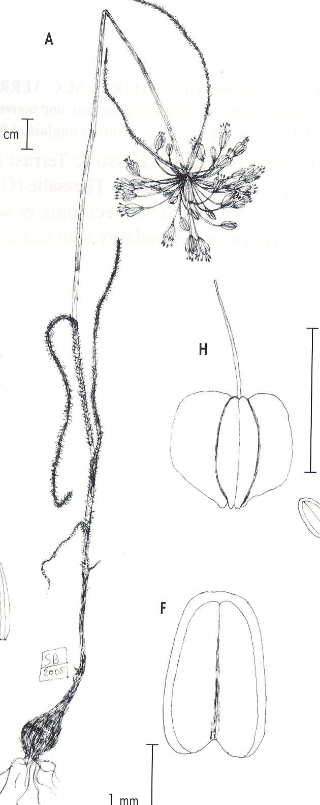 Allium%20aeginiense.jpg
