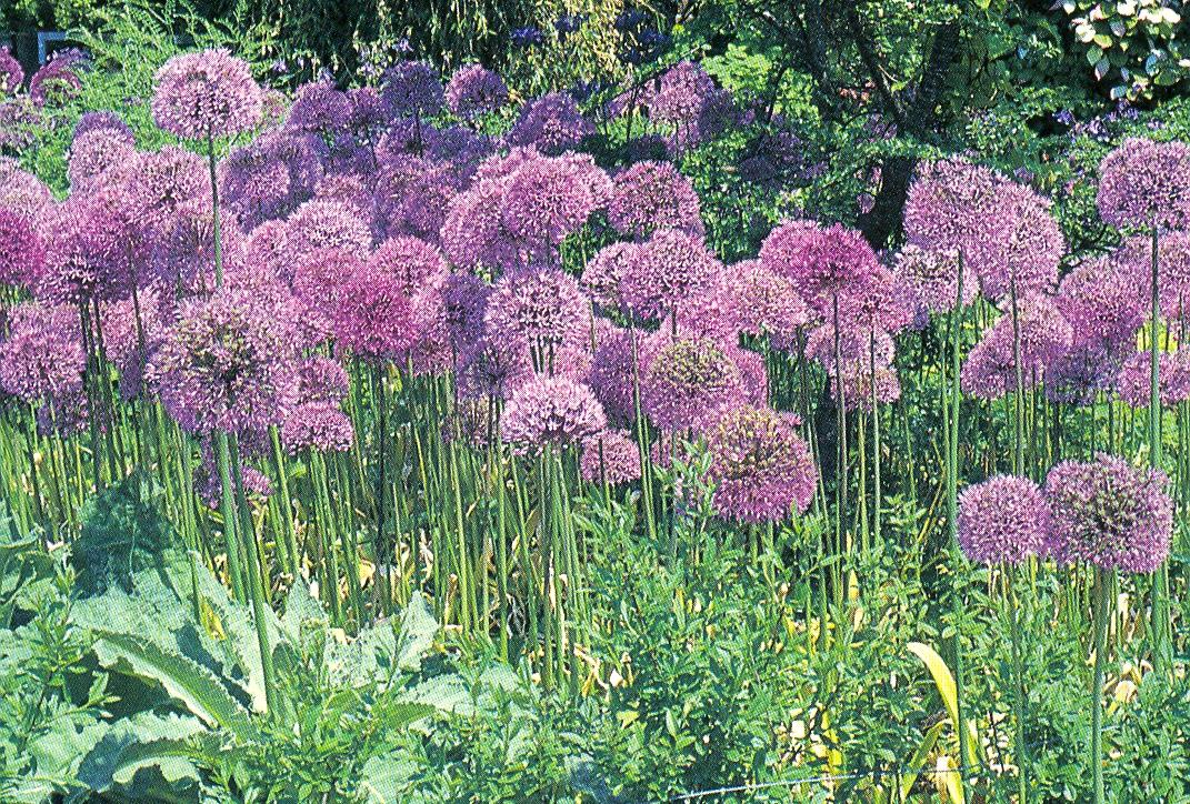 Allium a   allium