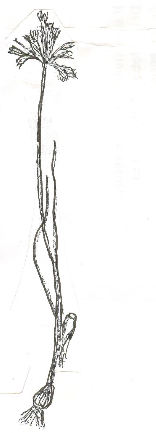 Allium%20agrigenintum.jpg
