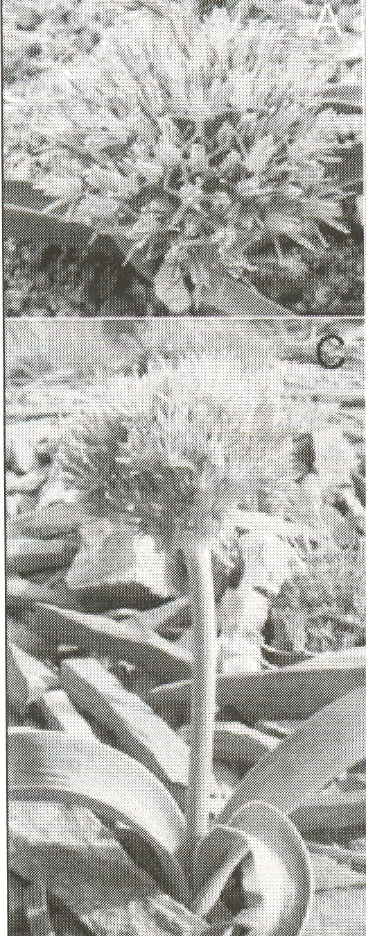 Allium%20akaka%20ssp%20graveolens.jpg