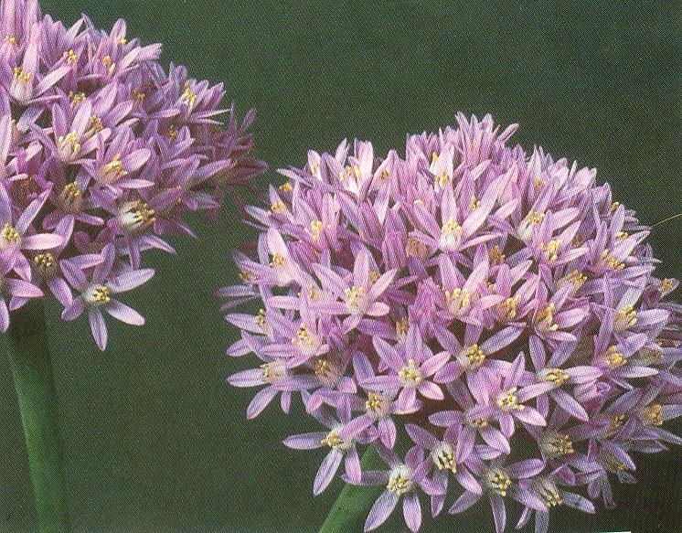 Allium%20akaka%20ssp%20shelkovnikovii.jpg