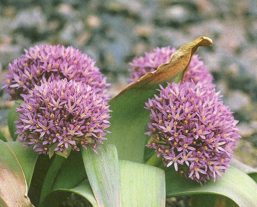 Allium%20akaka.jpg