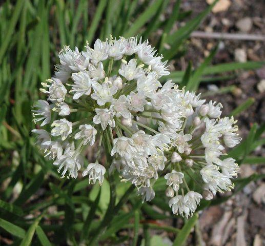 Allium%20albidum.jpg