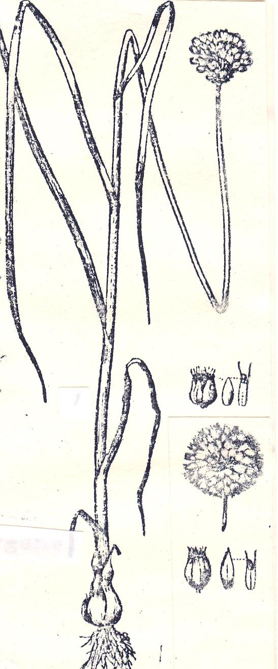 Allium%20albiflorum.jpg