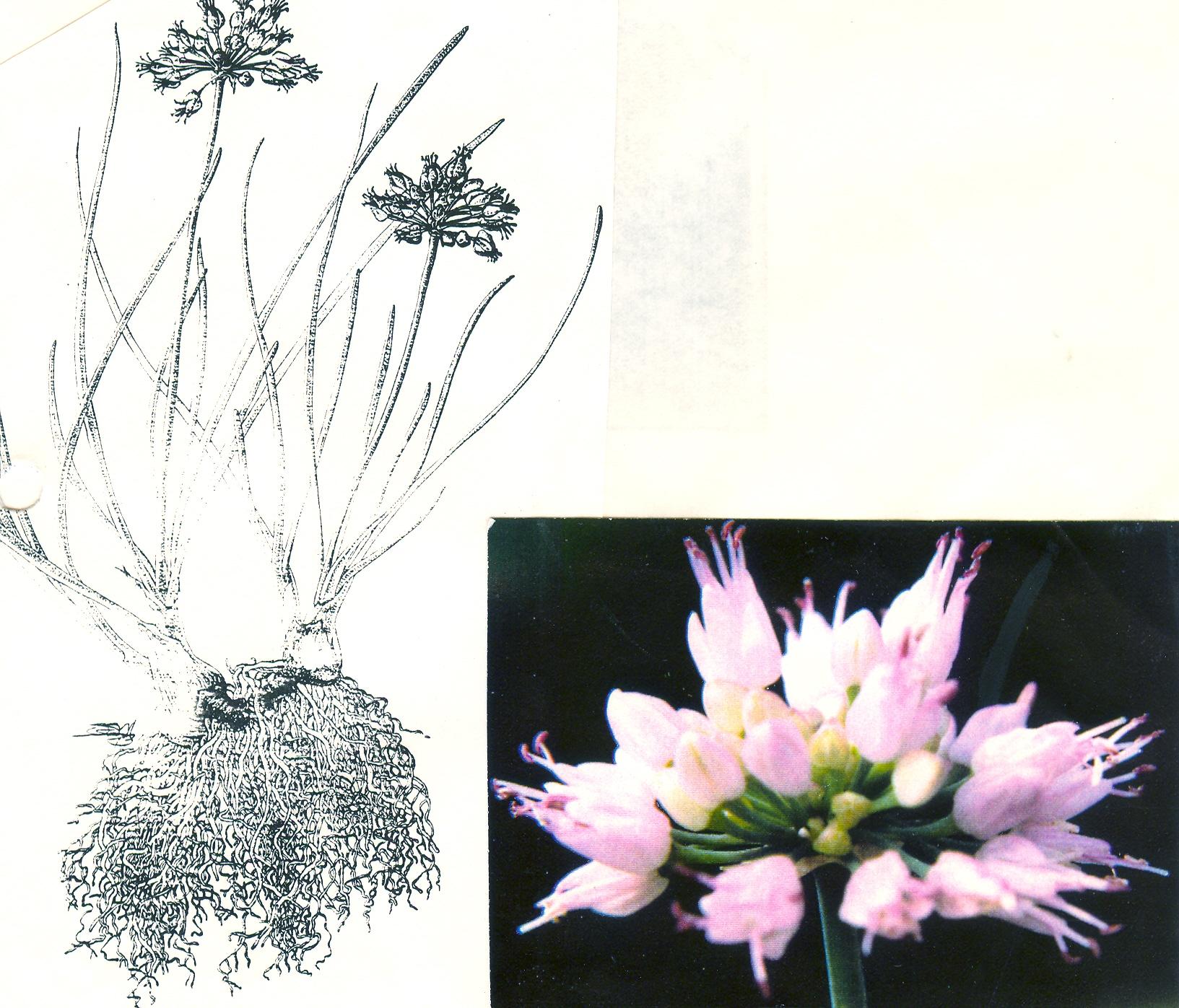 Allium%20albovianum.jpg