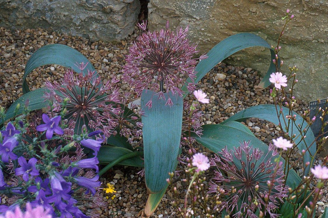 Allium%20alexeianum%20(Als)1.jpg