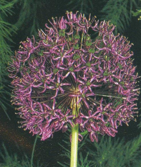 Allium%20altissimum%20%5C%27Goliath%5C%27.jpg