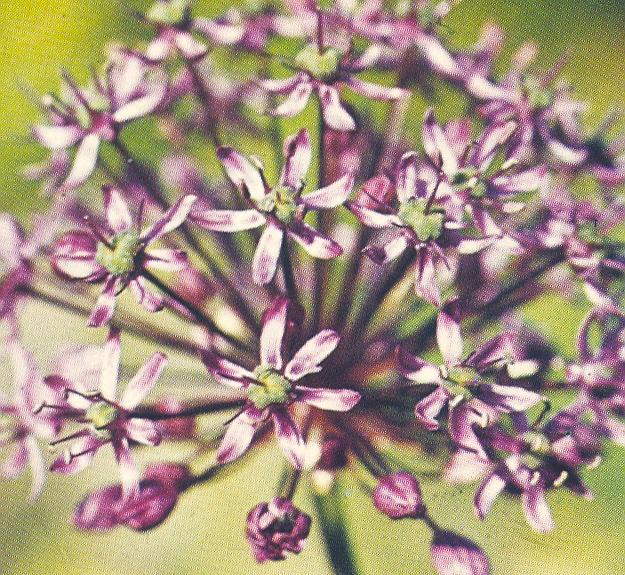Allium%20altissimum(1).jpg