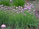 Allium%20altyncolicum.jpg