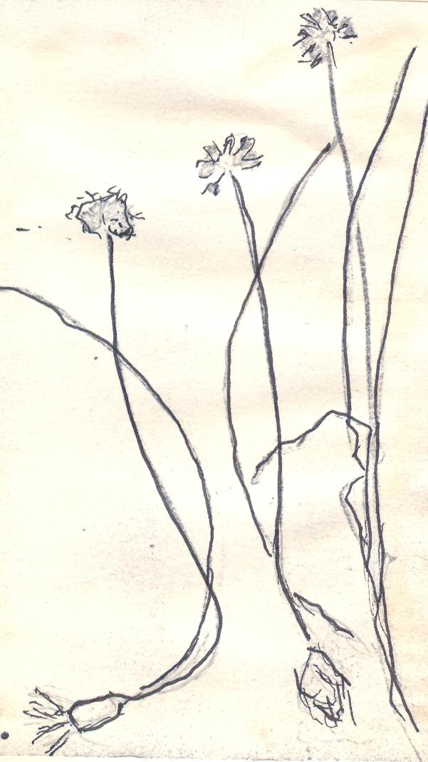 Allium%20amamianum.jpg