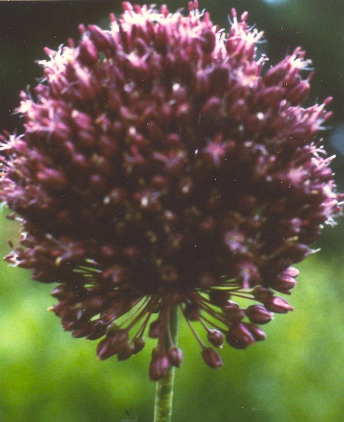 Allium%20ampeloprasum%20var%20iranicum.jpg