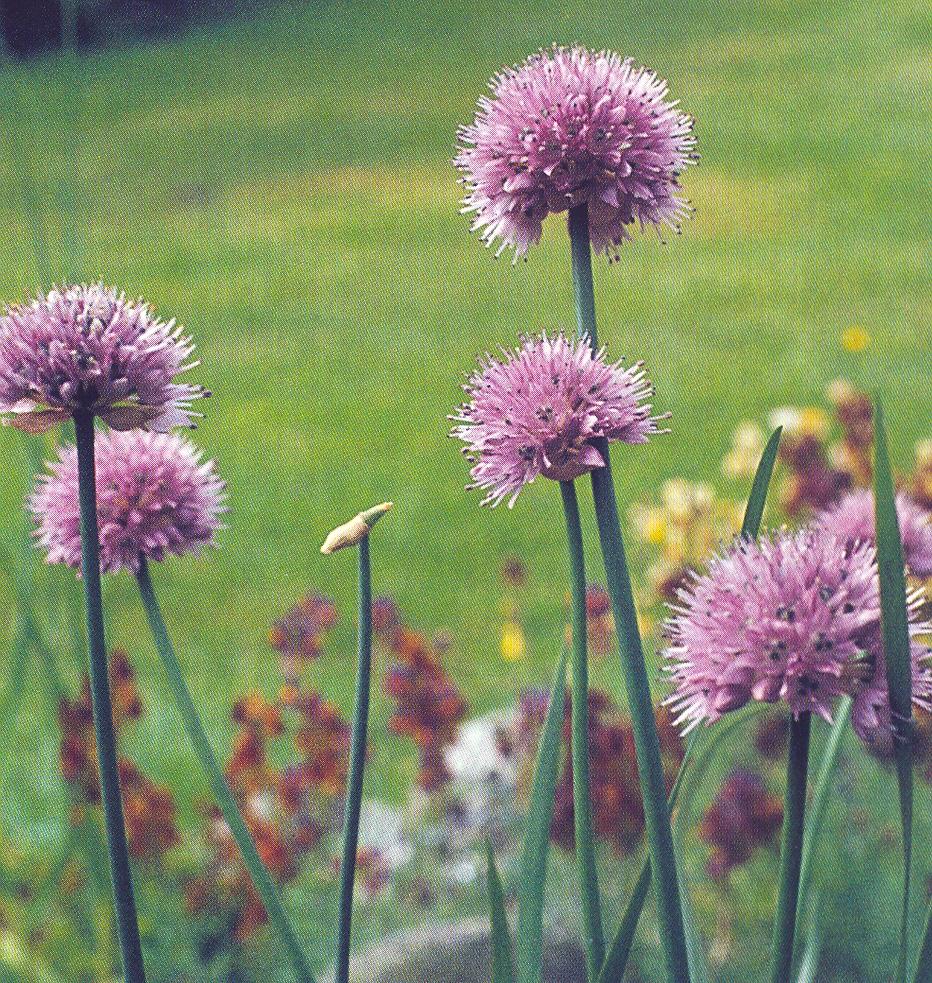 Allium%20amphibolum.jpg