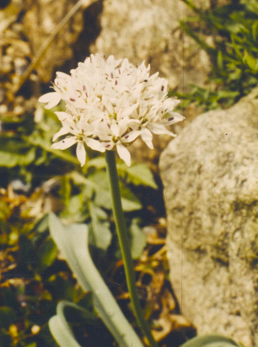 Allium%20amplectens.jpg