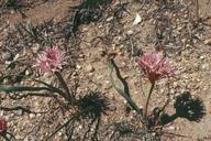 Allium%20anceps.jpg