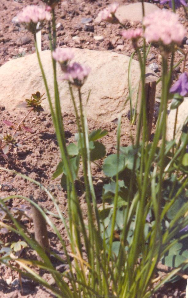 Allium%20angulosum.jpg