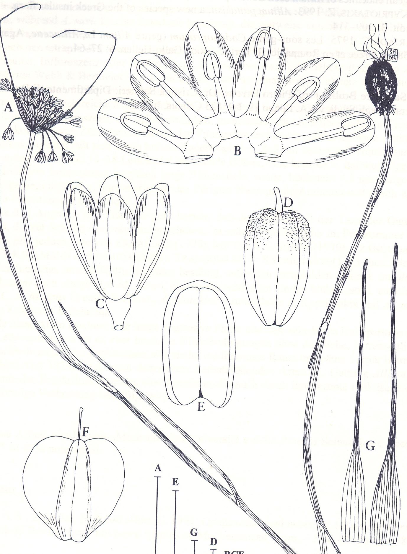 Allium%20anzalonei.jpg