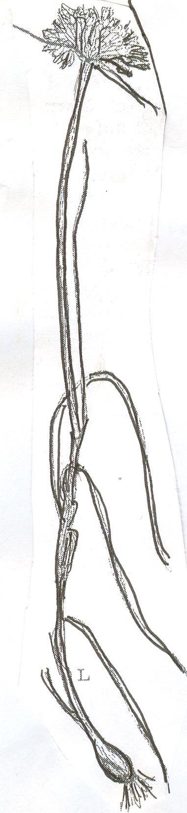 Allium%20apulum.jpg