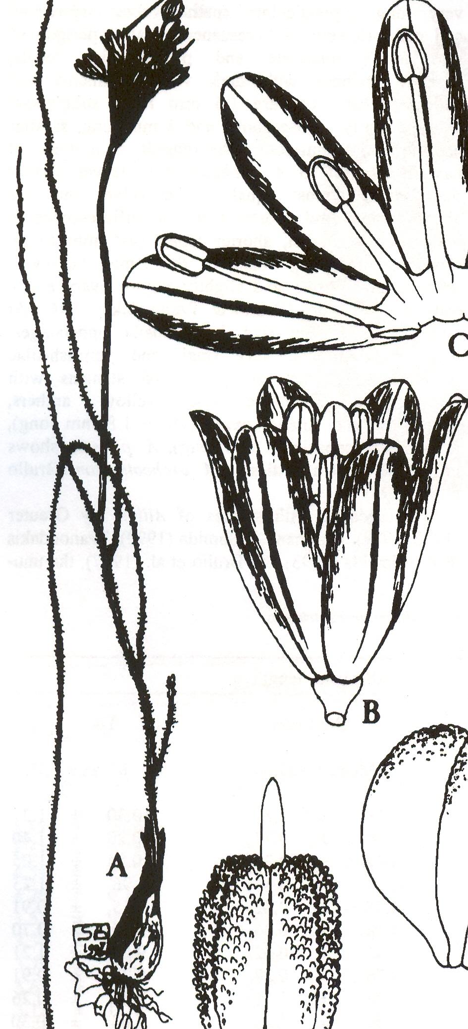 Allium%20archeotrichon.jpg