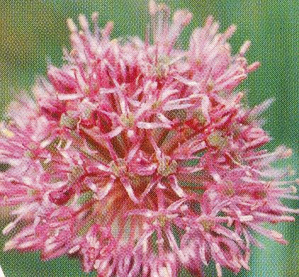 Allium%20arkitense2.jpg