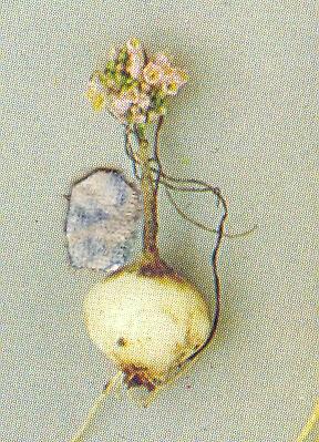 Allium%20arlgirdense.jpg
