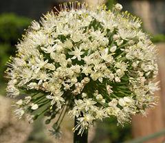 Allium%20asarense.jpg