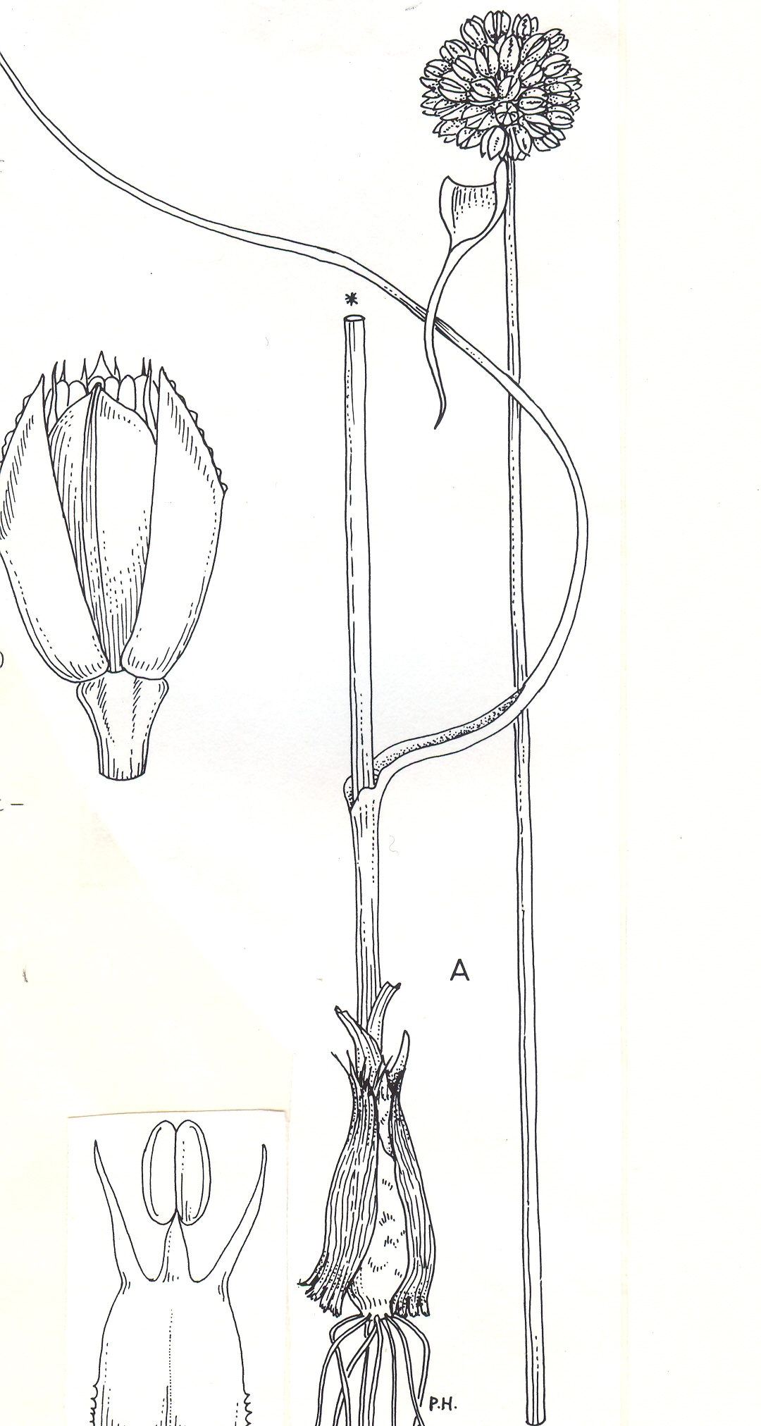 Allium%20asirense.jpg