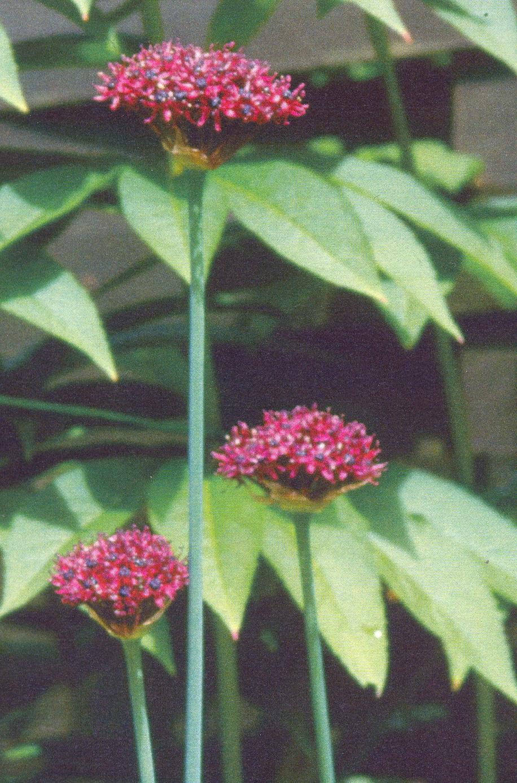 Allium%20atropurpureum.jpg