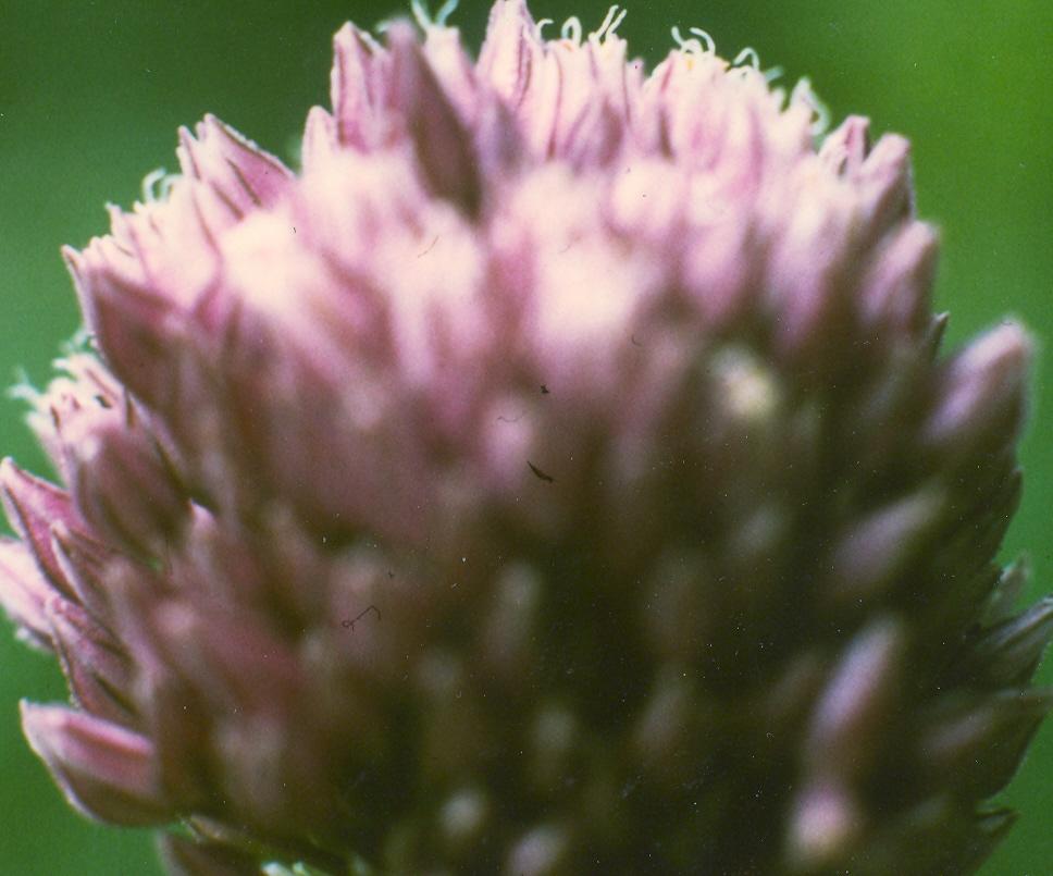 Allium%20atroviolaceum%20v%20firmo.jpg