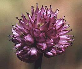 Allium%20auriculatum.jpg