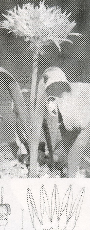 Allium%20austroiranicum.jpg