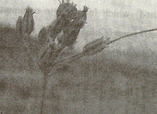 Allium%20autumniflorum.jpg