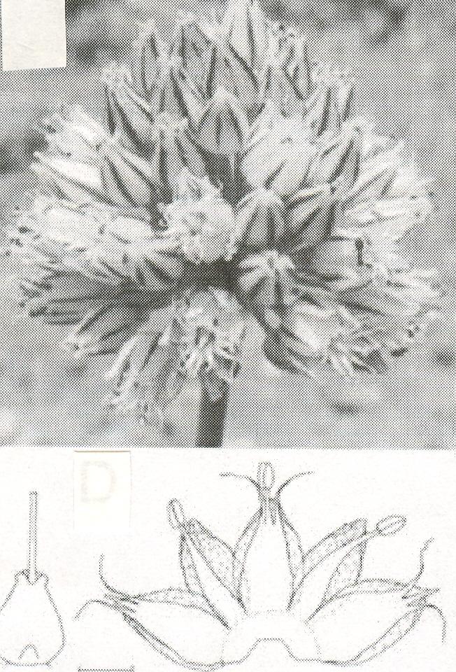 Allium%20aznavense.jpg
