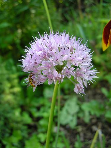 Allium%20azutavicum.jpg