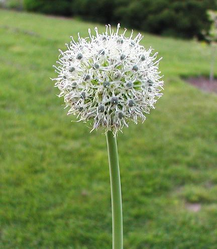Allium%20backhousianum.jpg