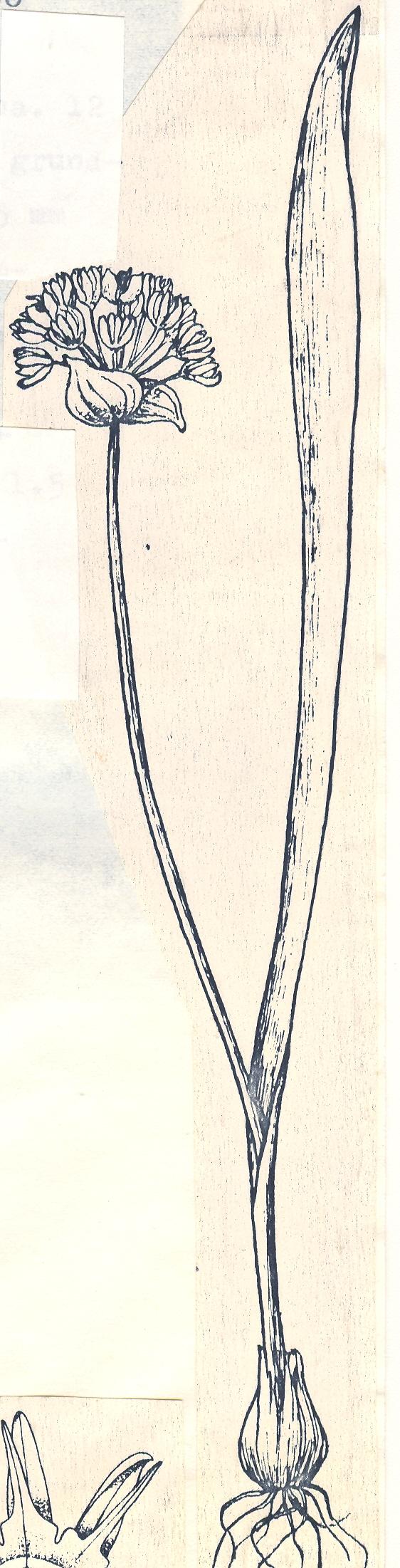 Allium%20badakhshanicum.jpg