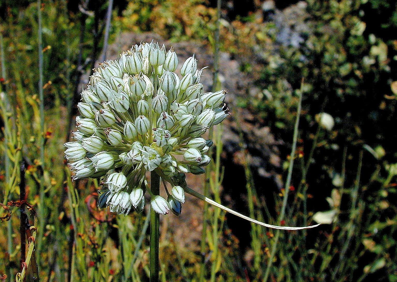 Allium%20baeticum.jpg