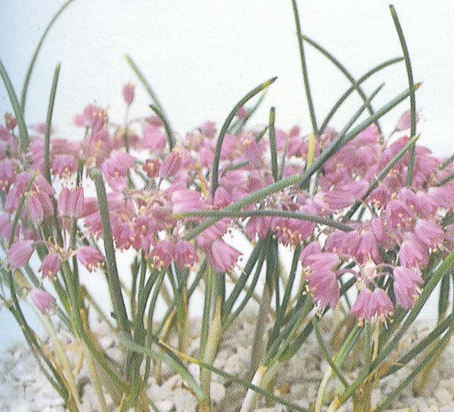 Allium%20balansae.jpg