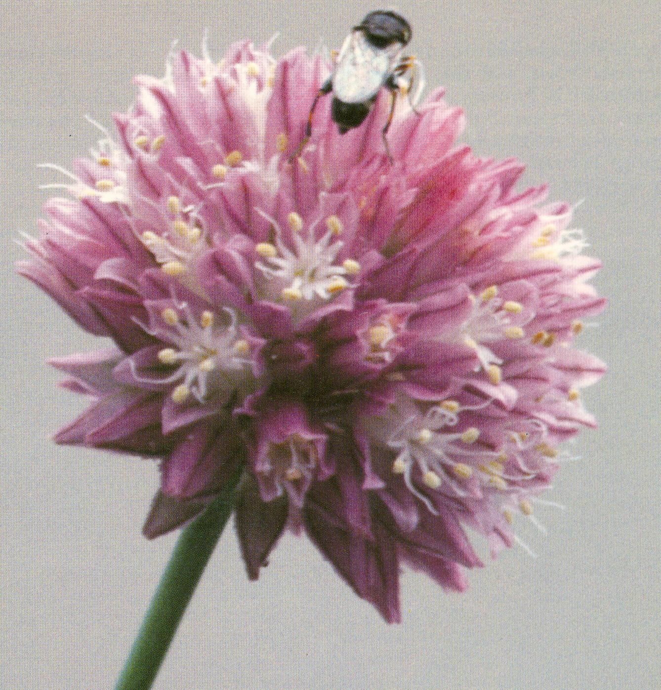 Allium%20barszczewskii2.jpg