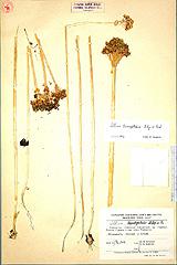 Allium%20baschkyzylsaicum.jpg