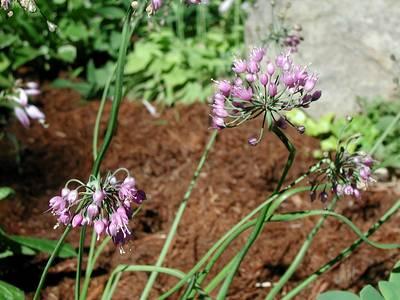 Allium%20bassitense.jpg