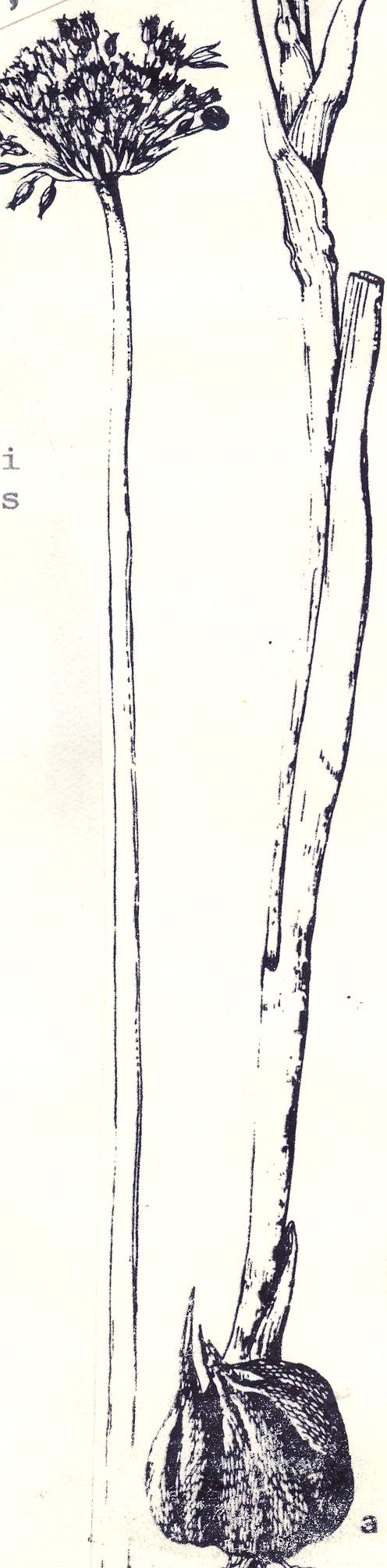 Allium%20baytopiorum.jpg