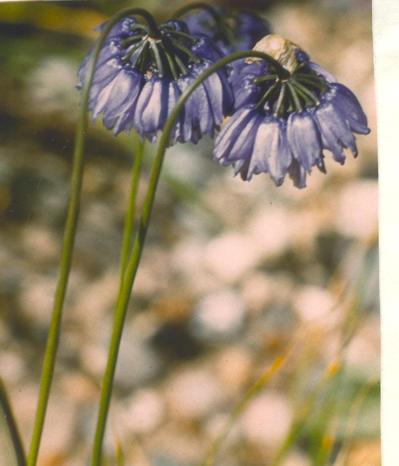 Allium%20beesianum.jpg