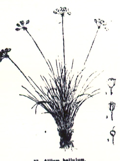 Allium%20bellulum.jpg