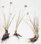 Allium%20bidentatum.jpg