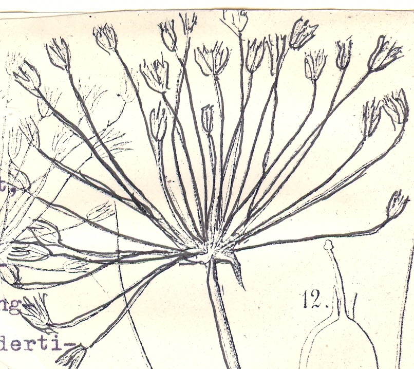 Allium%20borszczowii.jpg