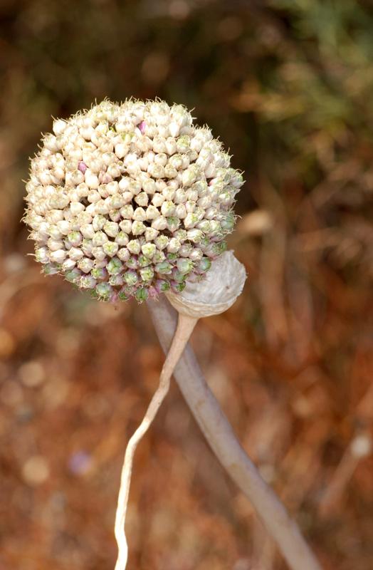 Allium%20bourgeaui.jpg