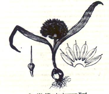 Allium%20brachyscapum.jpg